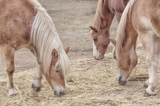 chevaux qui mangent