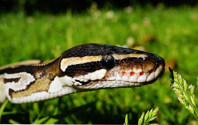 les morsures de serpent
